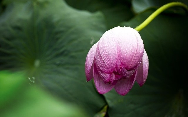 lotus-614493_640.jpg